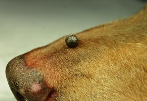 が ん 皮膚 犬 犬の寄生虫(皮膚)の種類や画像と検査や治療にかかる費用など!