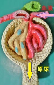 腎臓糸球体.JPG